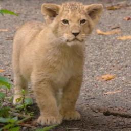 Afleveringplaatje van NieuwNieuws van de dag   01-10-2020 - Leeuwenwelpjes in Burgers's Zoo